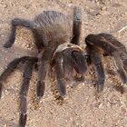 brown  trantula by gabbielizzie