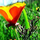Prasing Poppy by Visual   Inspirations