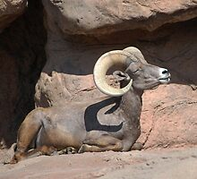Big Horn Sheep by LauraStaff