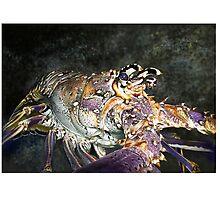 CARIBBEAN SPINY LOBSTER / Panulirus argus 3 by DilettantO