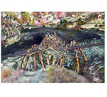 CARIBBEAN SPINY LOBSTER / Panulirus argus 4 by DilettantO