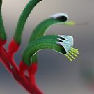 Kangaroo Paw by Coloursofnature