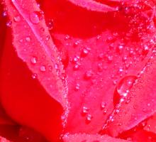 Deep Pink Rose Sticker