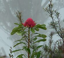 Wild Waratah shrouded in the mist by STEPHEN GEORGIOU