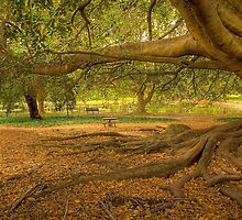 Moreton Bay Fig by Claire  Farley