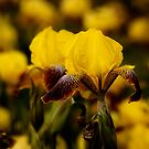 Yellow and Maroon Irisis by LudaNayvelt