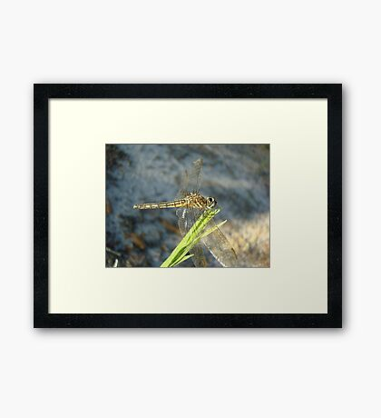 Blue Dasher on Native Grass Framed Print