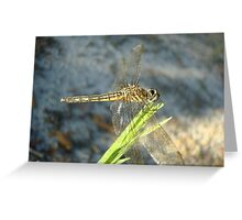 Blue Dasher on Native Grass Greeting Card
