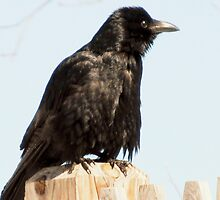 Oh this Crow by Pearle