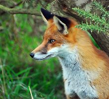 Vixen Alert   (Red Fox) by ©FoxfireGallery / FloorOne Photography
