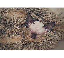 Sleepy Sphynx Photographic Print