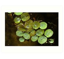 Water Spangles (Salvinia) After the Rain Art Print