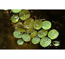 Water Spangles (Salvinia) After the Rain Photographic Print