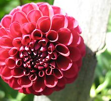 Red Honeycomb Dahlia by MarianBendeth