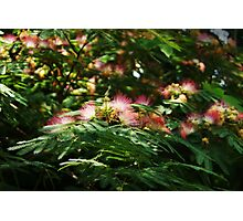 Mimosa Blooms Photographic Print