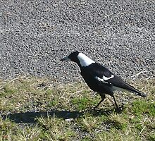 Myall Magpie by KazM