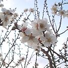 Almond Blossom by LouJay