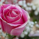 Pink Rose by MDossat
