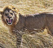 African Lion, Masai Mara NP, Kenya, Africa by Scootarts