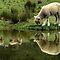 17th of May - Lamb or/and Sheep