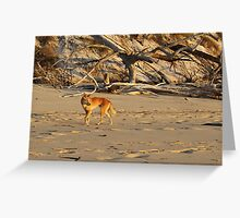 Dingo, Fraser Island Greeting Card