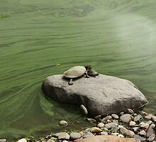 Mother and Baby Turtles watching the Green Pond  by ElyseFradkin