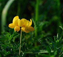 Lotus Corniculatus-Yellow Birdsfoot Trefoil by mnkreations