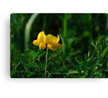 Lotus Corniculatus-Yellow Birdsfoot Trefoil Canvas Print