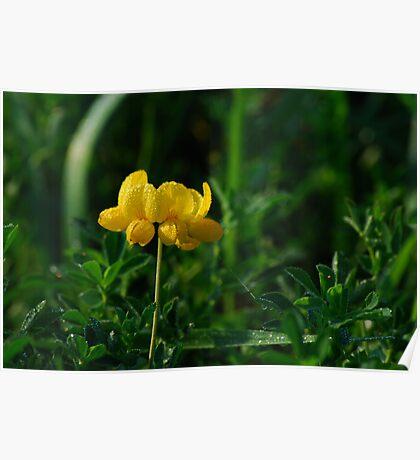 Lotus Corniculatus-Yellow Birdsfoot Trefoil Poster
