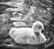 Cygnet by fab2can