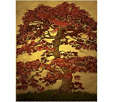 Red Maple Bonsai Photographic Print
