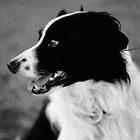 Portrait of a Border Collie by Tamara  Kenneally