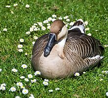 Sleepy Goose In The Daisies by Susie Peek