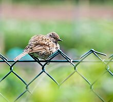 Fluffy Young Sparrow by Susie Peek