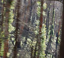Trees of Toolangi by KarenCook