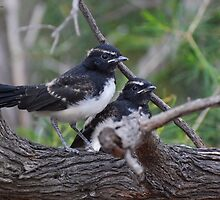 willy wagtail juvenile by cloverestate