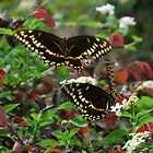 Dance of the Swallowtails II by oldgoatsphoto