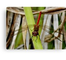 Red DragonFly : Smiling ? Canvas Print