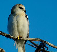 Juvinile Black-shouldered Kite by Biggzie