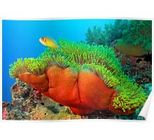 Anemone with Pink Anemone Fish Poster