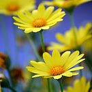Yellow Daisies Blue by RichCaspian