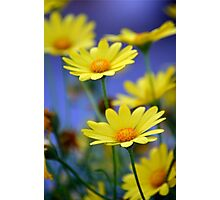 Yellow Daisies Blue Photographic Print