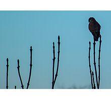 Kestrel perching Photographic Print