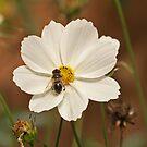 Hoverfly & Senecio elgants by Robert Abraham
