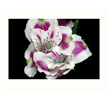 Purple Alstroemeria Art Print