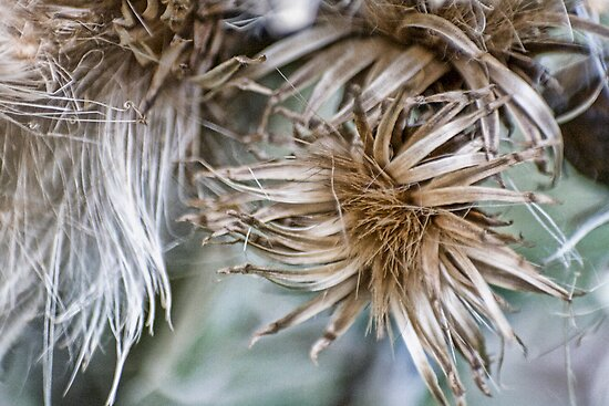 Thistle seedheads... by Patriciakb