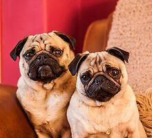 Two lovely pugs by chirs1990