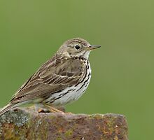 Meadow Pipit - I (Anthus pratensis) by Peter Wiggerman