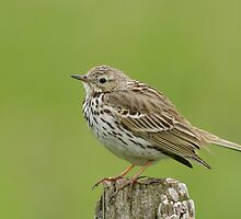 Meadow Pipit - II (Anthus pratensis) by Peter Wiggerman