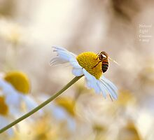 """"""" Chamomile And Honey """" by Richard Couchman"""